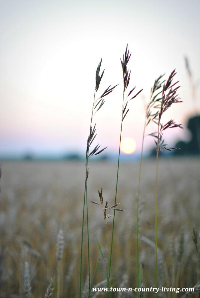 Farm field at sunset