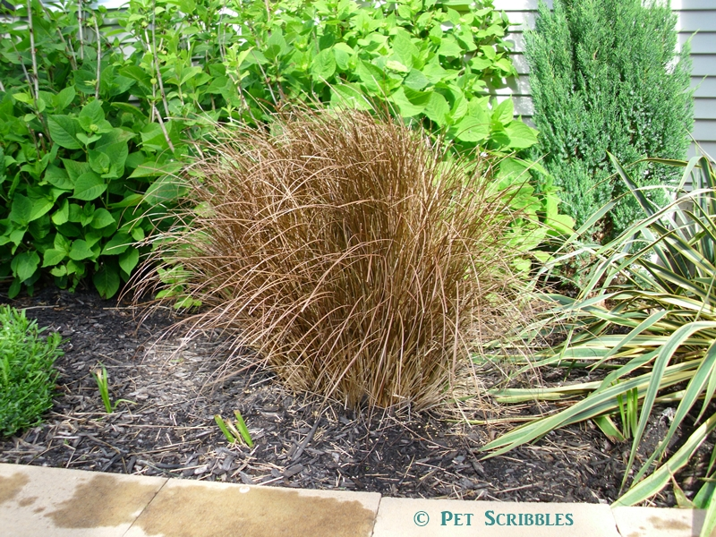Toffee Twist Grass one month after pruning in Spring