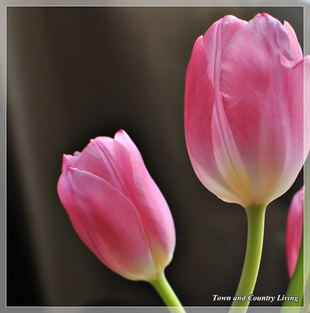 Tulip-buds
