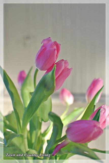 Tulip-closeup