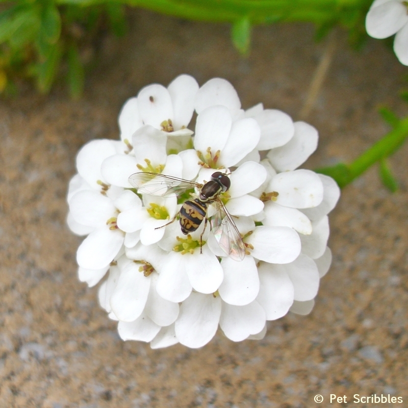 This bee is enjoying a Candytuft flower in Spring!