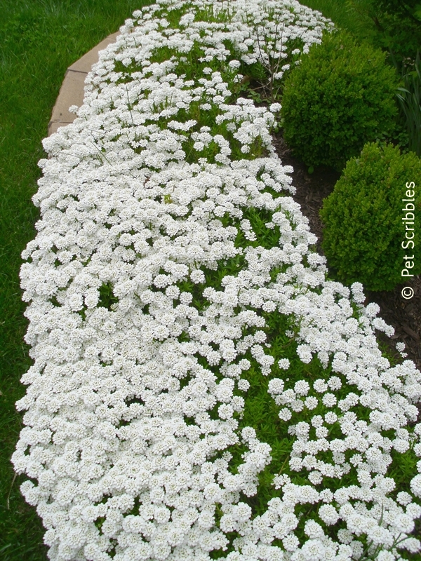 Candytuft is an excellent border plant in the garden!