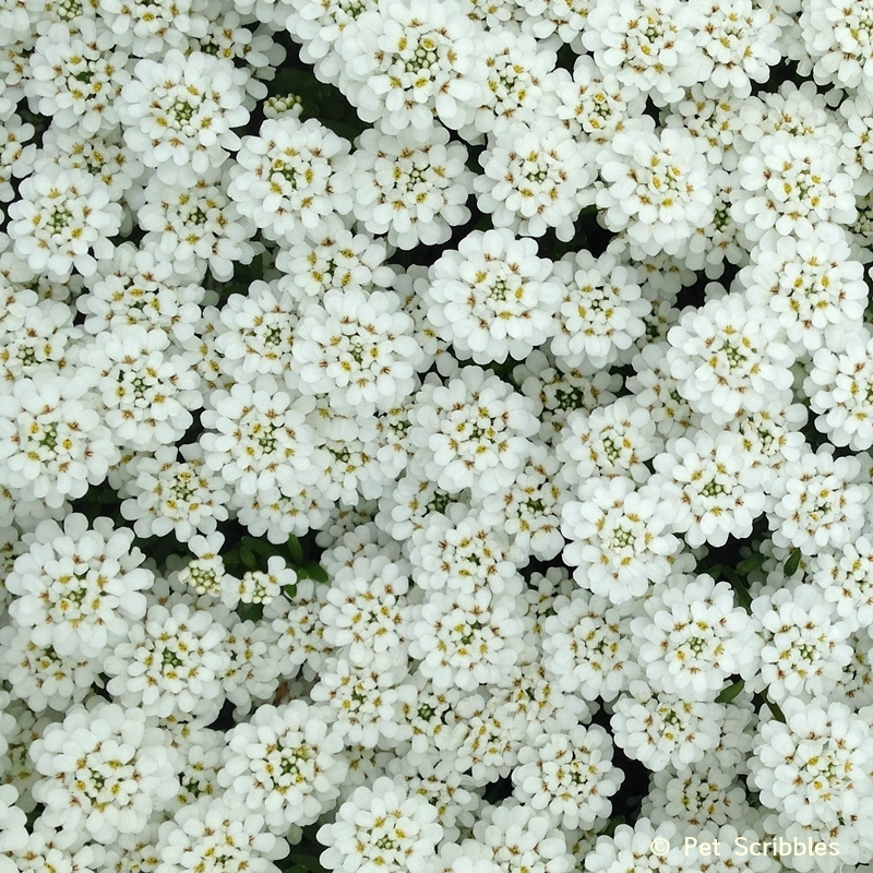 Candytuft flowers in Spring