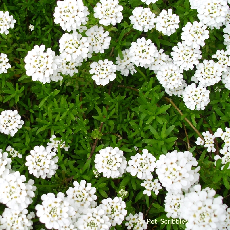Candytuft evergreeen leaves