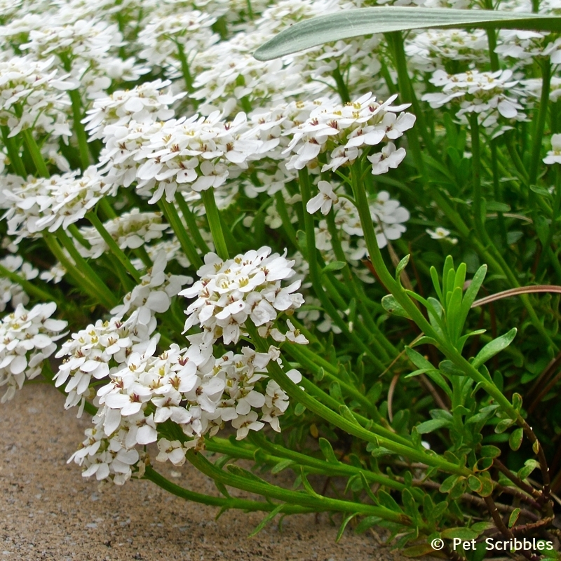 Candytuft stems