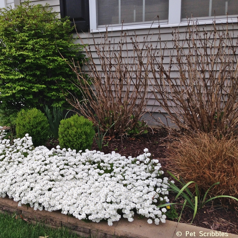 Candytuft blooms before many other perennials wake up!