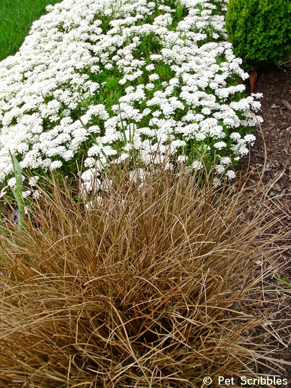 Toffee Grass and Candytuft
