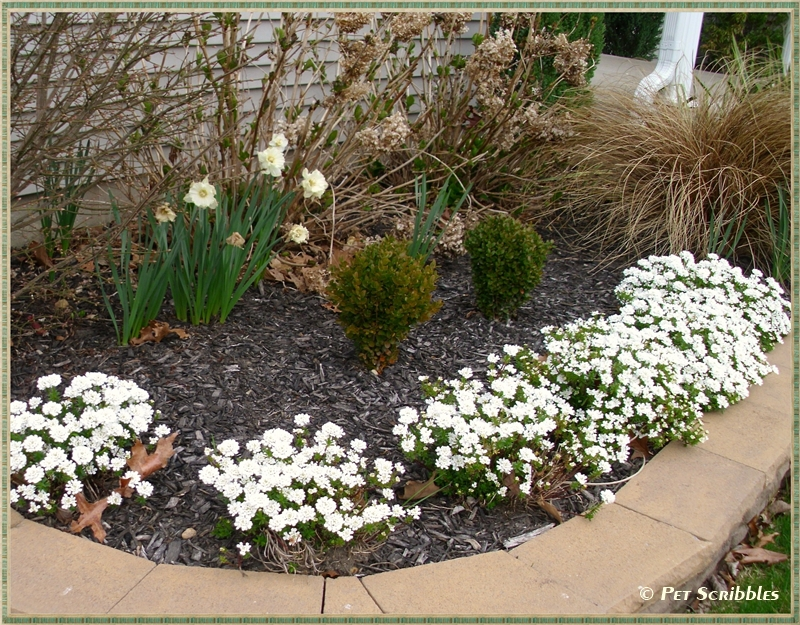 Candytuft: two-year old plants...