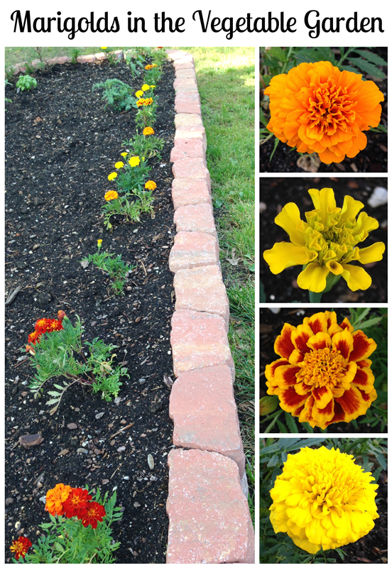 Marigolds in the Vegetable Garden