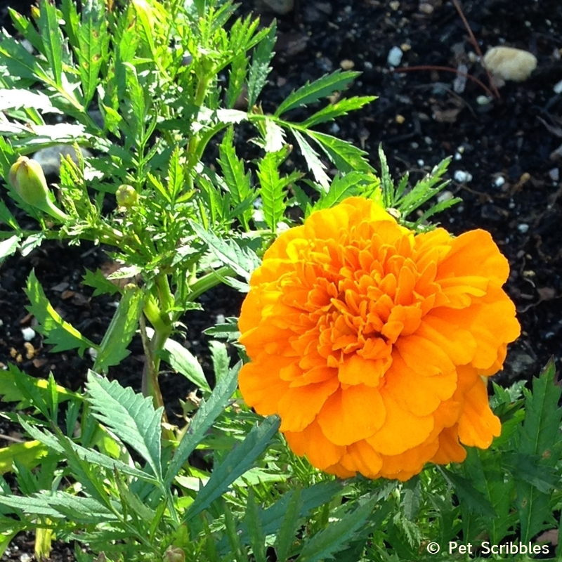 marigolds and vegetables