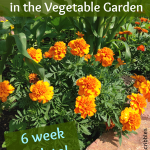 Marigolds in the Vegetable Garden: an update after six weeks!