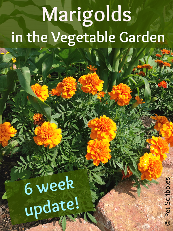 Marigolds In The Vegetable Garden Yes Live Creatively Inspired