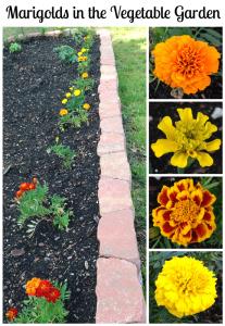 Marigolds in the Vegetable Garden