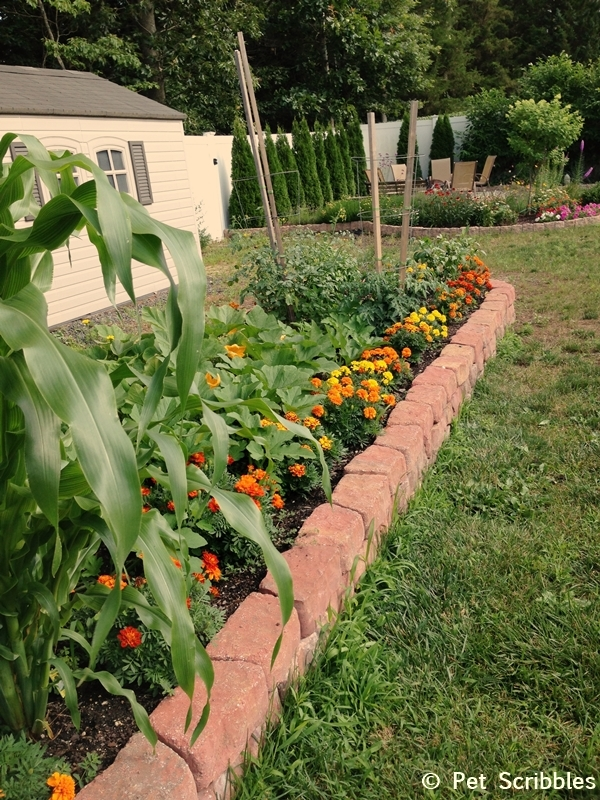 Marigolds In The Vegetable Garden A Six Week Update Live Creatively Inspired