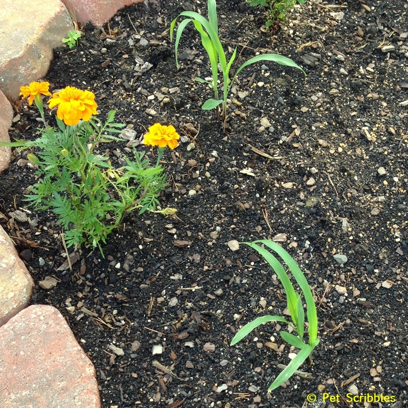 marigolds and corn newly planted