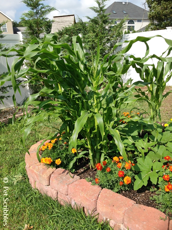 marigolds and corn stalks