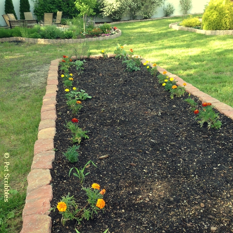 marigolds newly planted in the vegetable garden