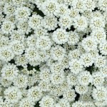 Candytuft: A garden must-have!
