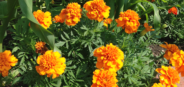 Marigolds in the Vegetable Garden: a six week update!
